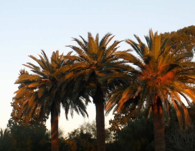 Palm trees in the sunset, cooper hood, jan 2011