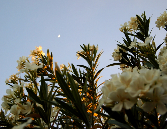 the moon over the oleanders, which are blooming, kate mckinnon 2012