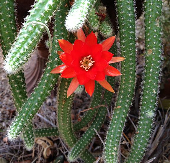Cthulhu Cactus flower