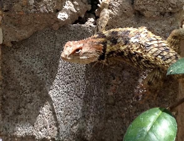 The Beautiful Lizard Orangelina
