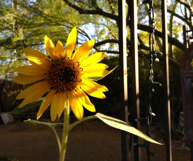 orangelinas sunflower