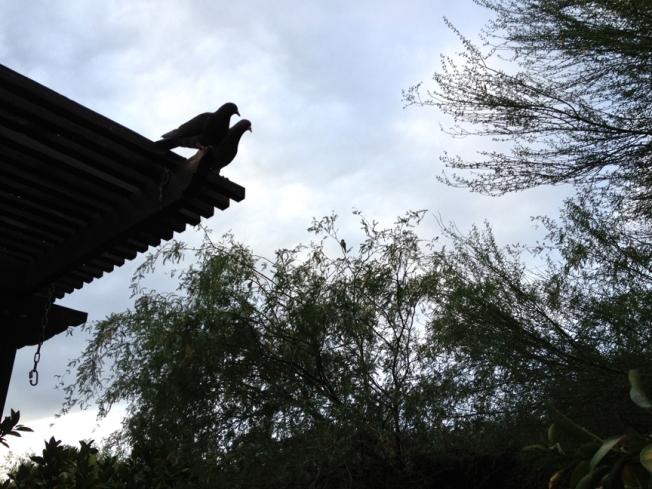 Dawn Pigeons