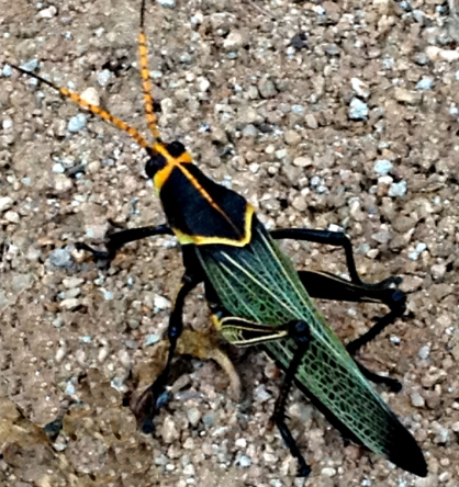 Awesome Grasshopper