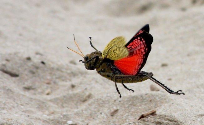 Dan Polley Horse Lubber Grasshopper