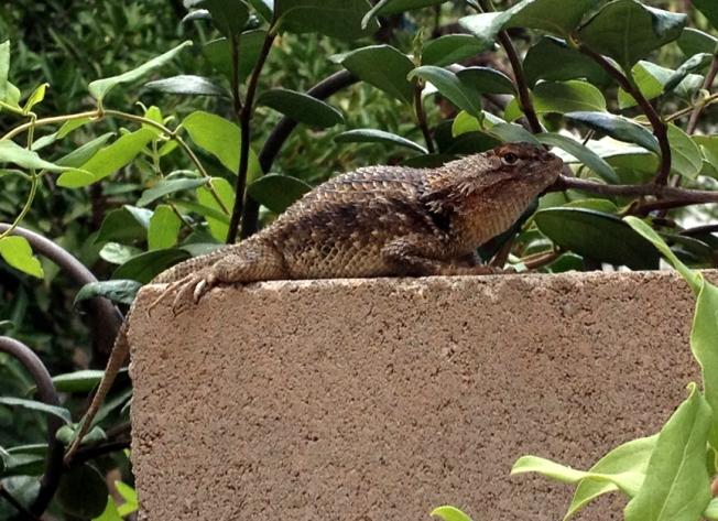 New Lizard! New Lizard!