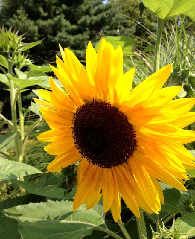 sunflower boston