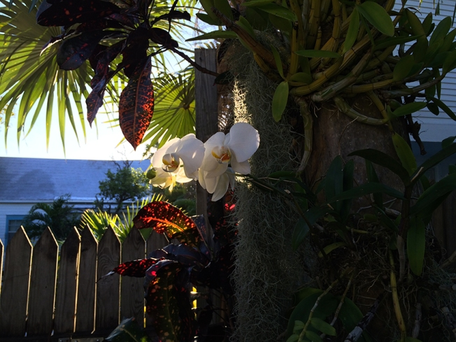 key west orchids in carries garden