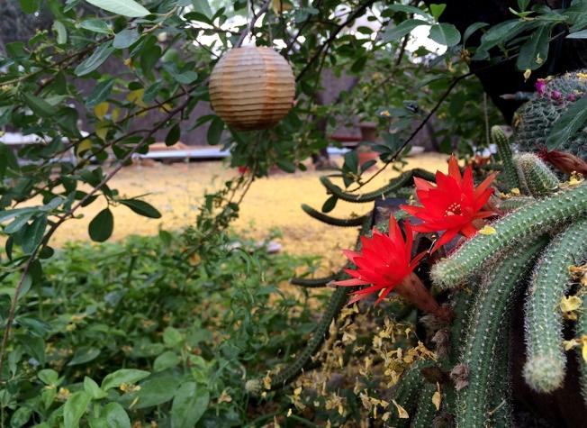 cooper cactus fest