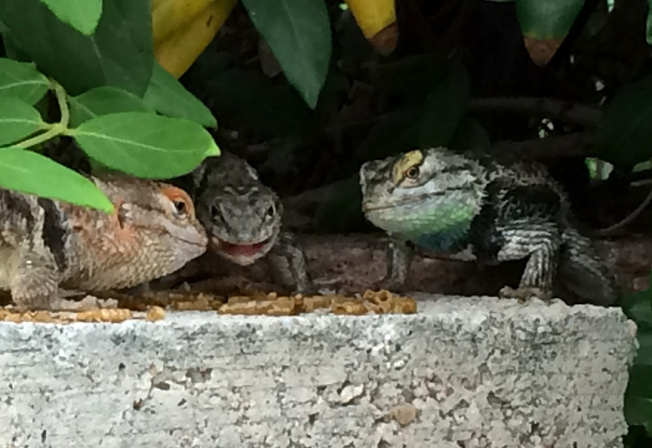 lizard family breakfast july 2015